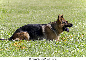 German Shepherd in police K-9 training.