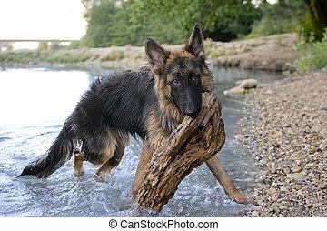 german shepherd in the water