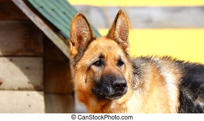 German Shepherd is barking at people