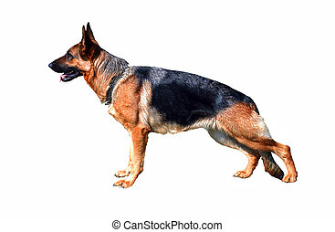 German Shepherd, isolate - Profile of large German Shepherd ...