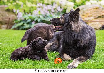 German shepherd lies with a puppy on the lawn