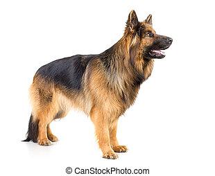 German shepherd long-haired dog standing profile studio shot isolated