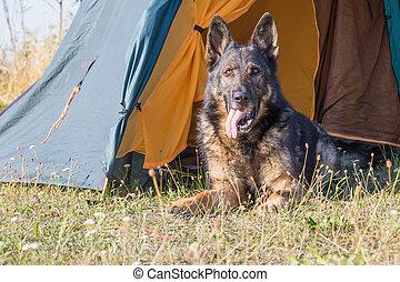 German Shepherd lying at the vestibule of tent