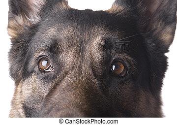 German shepherd macro