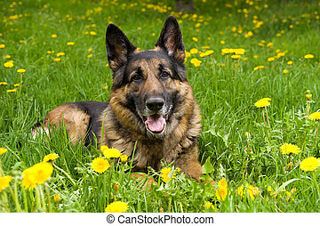German Shepherd on the meadow