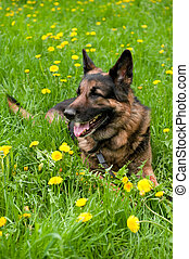 German Shepherd on the meadow with dandelions