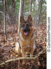 German Shepherd outdoor