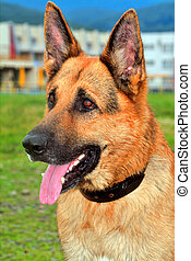 German Shepherd - portrait of German Shepherd on the nature