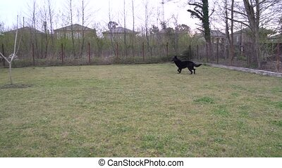 German shepherd plays in a private yard with its owner, ...