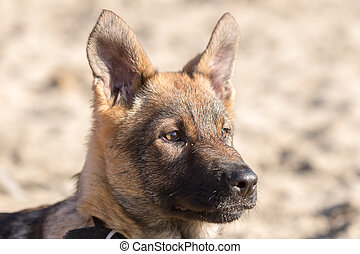 German Shepherd Puppy Head