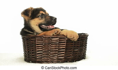German Shepherd puppy in a straw basket