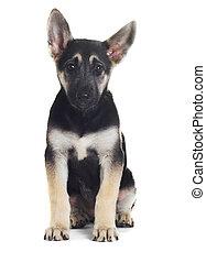 German shepherd puppy isolated