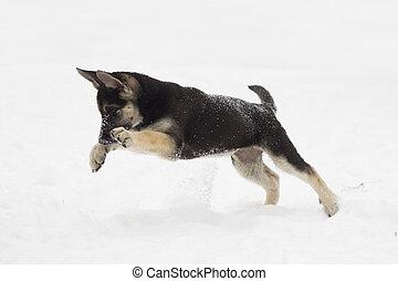 German Shepherd puppy jumping