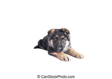 German Shepherd puppy looks