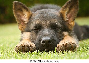 German shepherd puppy sleeping on a warm summer day on a...