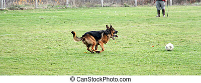 German Shepherd running on a soccer field