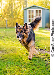 german shepherd running with ball in mouth