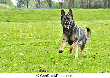 German Shepherd running with ball