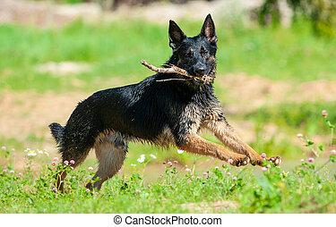 German shepherd running with stick