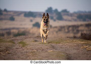 German shepherd running