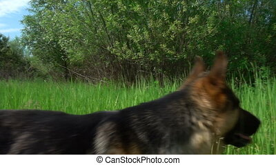 German Shepherd runs along the summer forest path, slow...
