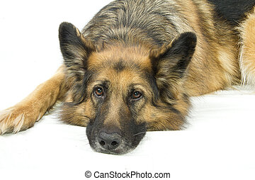 german shepherd sad