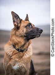German shepherd security dog looking and listening