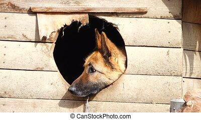 German Shepherd Sits in the Box