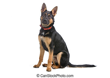 german shepherd sitting - german shepherd dog sitting,...