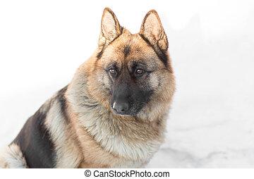 German shepherd sitting in the snow. Close up