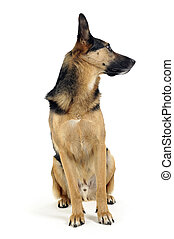 German shepherd sitting in white studio floor ang looking right