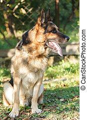 German shepherd sitting on the grass.