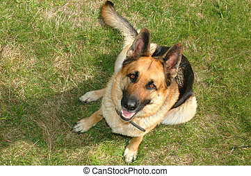 german shepherd sitting on the grass looking up to the camera