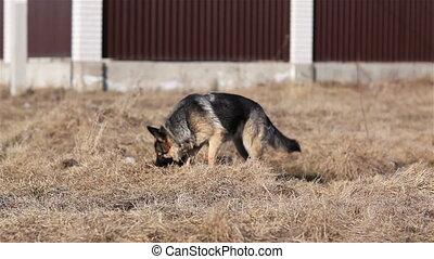 German shepherd sniffing grass.