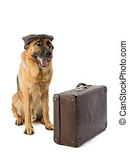 German shepherd with cap and suitcase