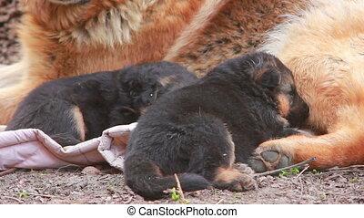 German Shepherd with puppies - German Shepherd dog with...