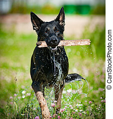 German shepperd dog with stick, after water