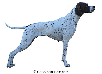 A German Short haired Pointer bitch isolated on white with a clipping path