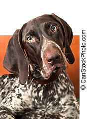 German shorthaired