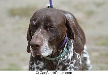 German Shorthaired Pointer Dog on a Leash