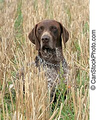 German shorthaired pointer dog sitting in the field
