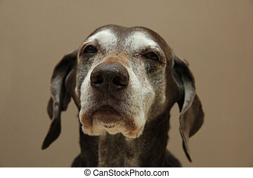 German shorthaired pointer, senior female, almost 13 years old