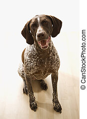 German Shorthaired Pointer dog sitting and looking up at viewer.