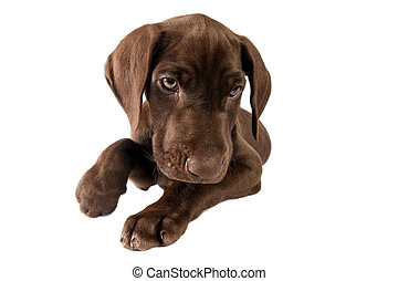 German shorthaired pointer on white background .Not isolated.