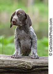 german shorthaired pointer puppy standing on a log