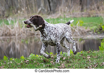 german shorthaired pointer running with a stick