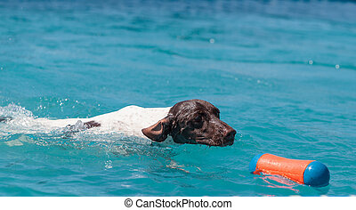 German shorthaired pointer swims with a toy in a pool in...