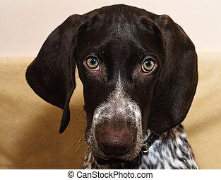 German shorthaired puppy pointer