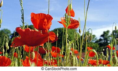 springtime - german springtime with red blossom