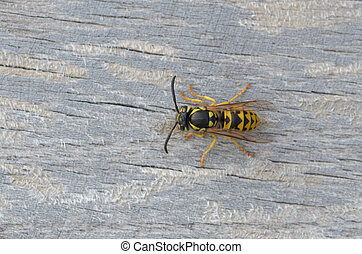 German wasp - Vespula germanica